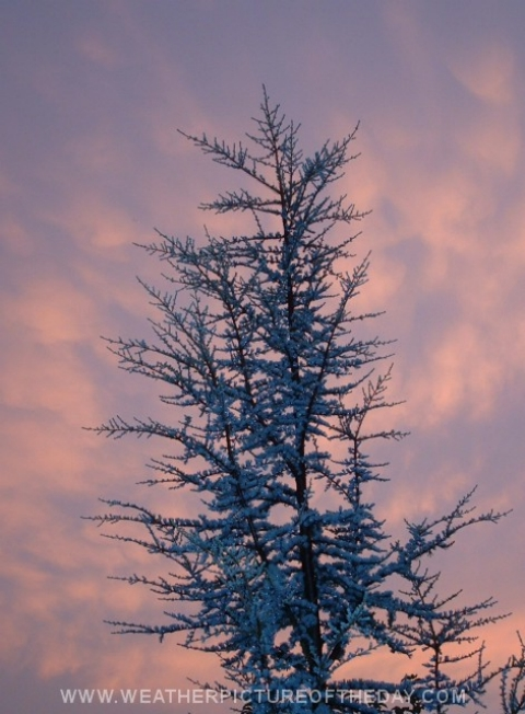 Blue Atlas Cedar at Sunset