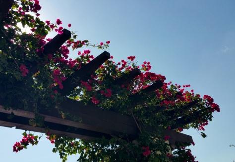 Spring Bougainvillea Blossoms
